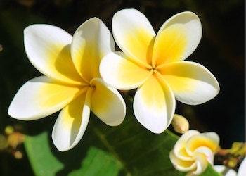 plumeria-tropical-flower