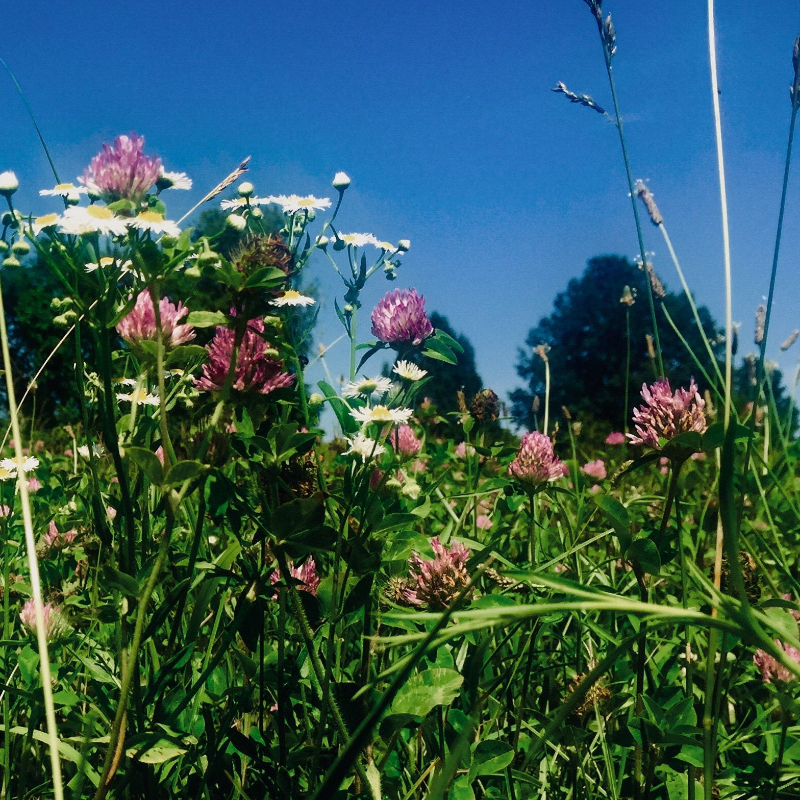 Meadow of Red Clover or Trifolium pratense