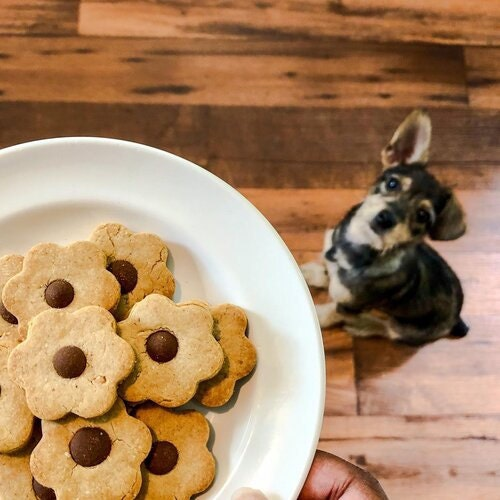 small dog staring at plate of peanut butter carob chip cookies
