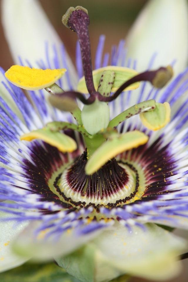 close up passion flower