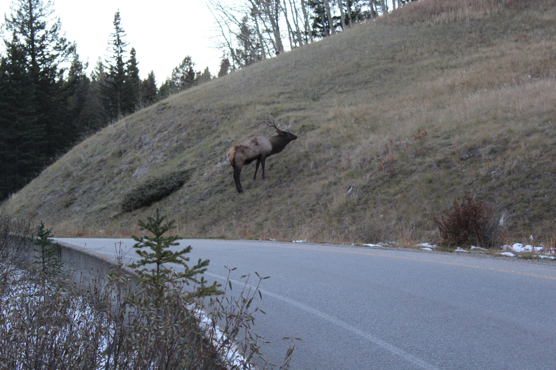 Big Elk in Banff