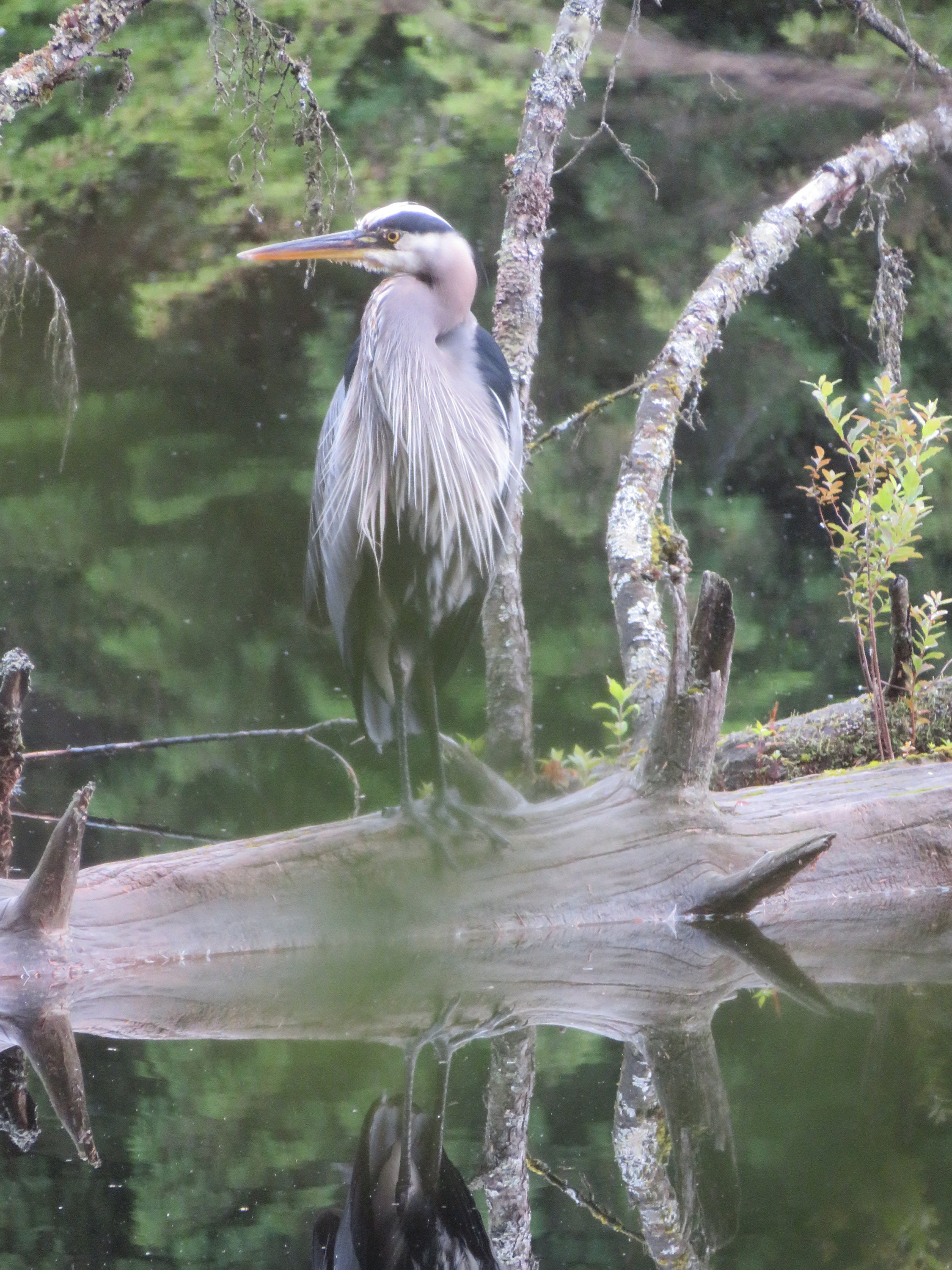 Photo of heron by hubby for cover of Le fleuve sans bouche