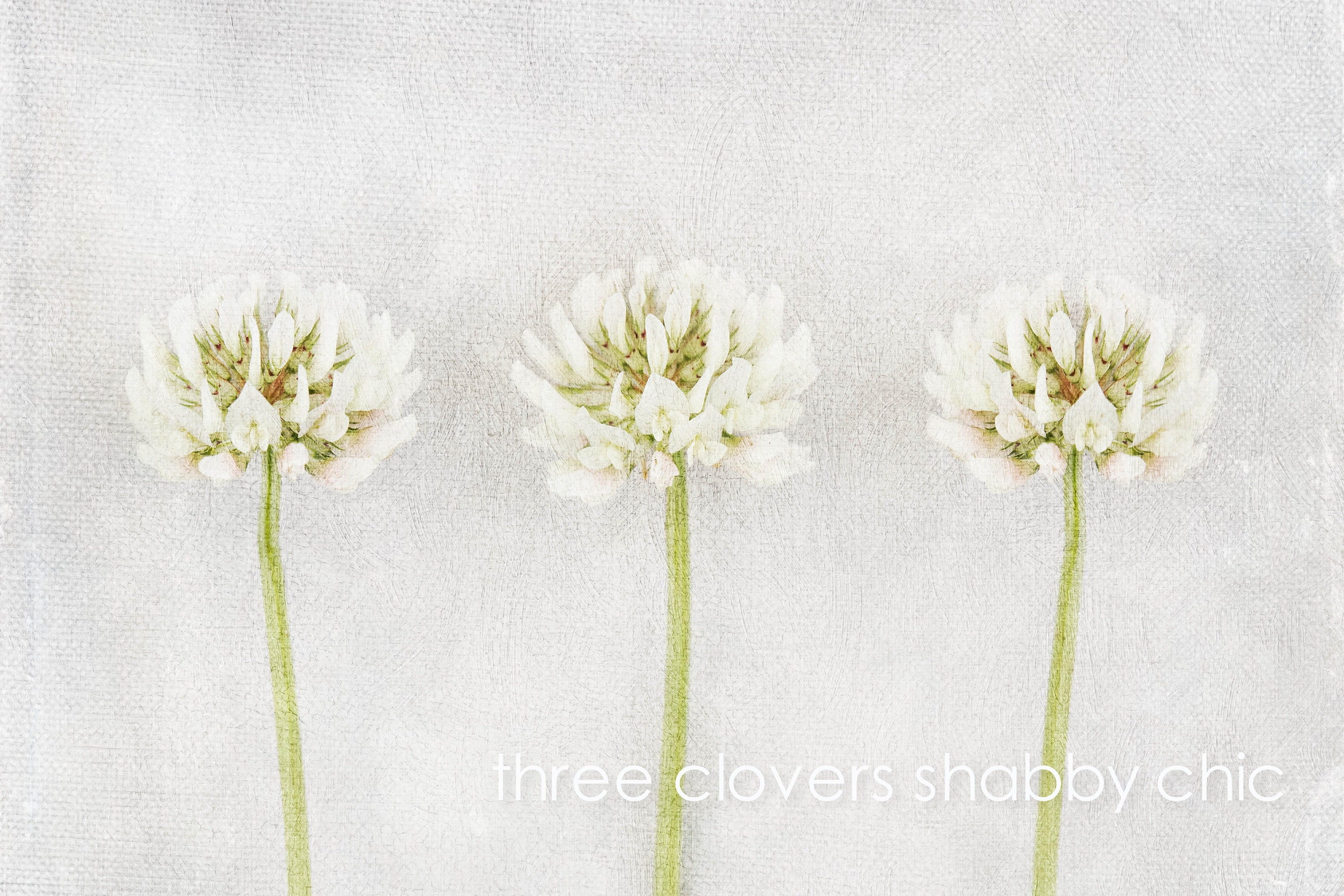 gardener gift- three wildflower white clover flowers with shabby chic textures - available as ready to hang floral wall art or unframed fine art limited edition prints