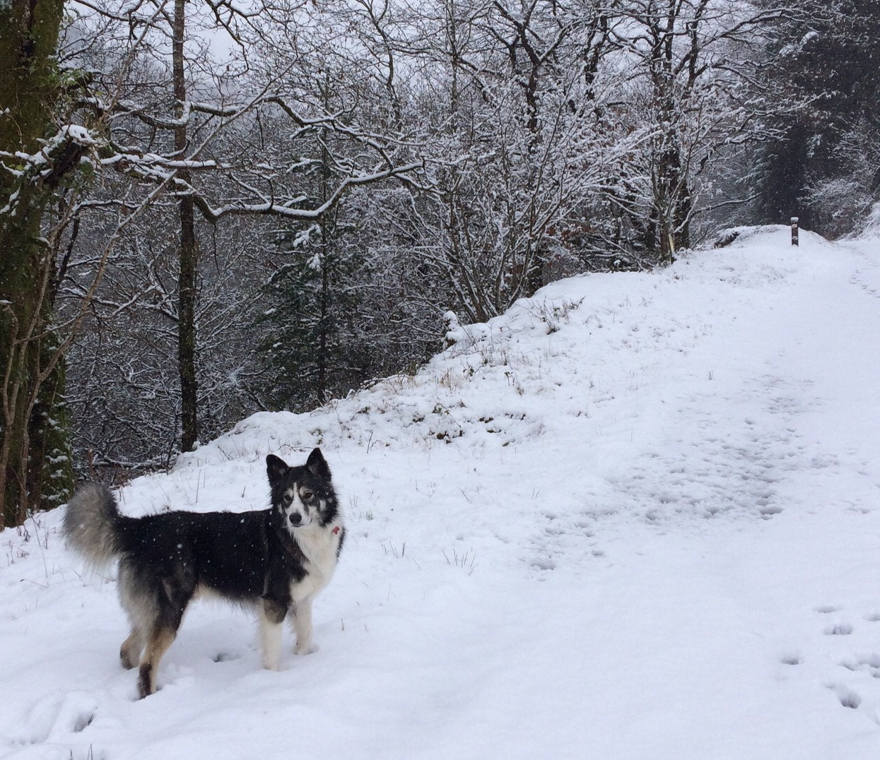 Shap - Alaskan malamute x collie - in the snow