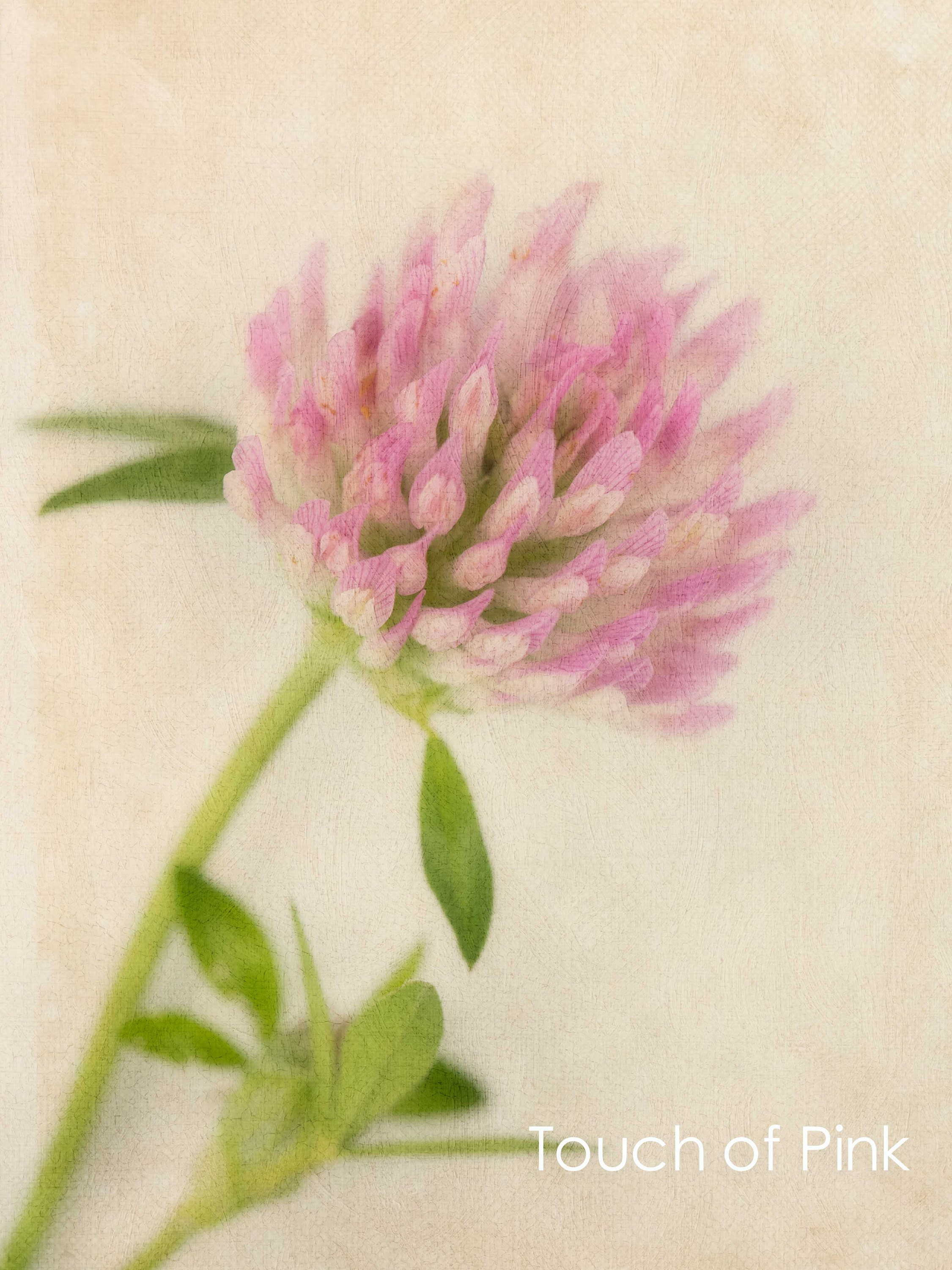 gardening gift- pink clover flower on cream background- fine art giclee floral prints for christmas gifts- available unframed or ready to hang in custom sizes and as canvas, art panel and box frame