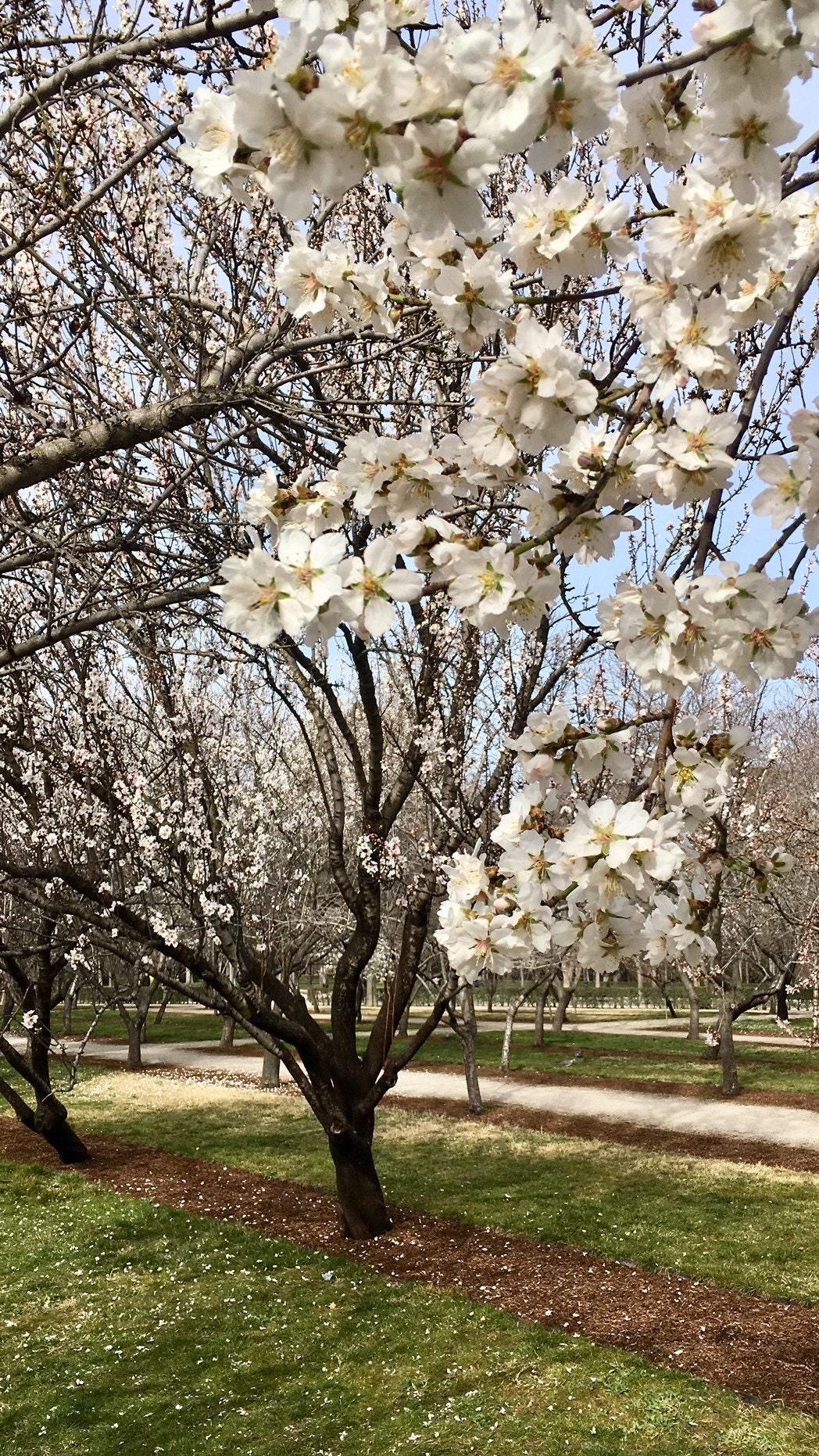 Alemendros flor Retiro naturaleza primavera nueva temporada 2019 madrid