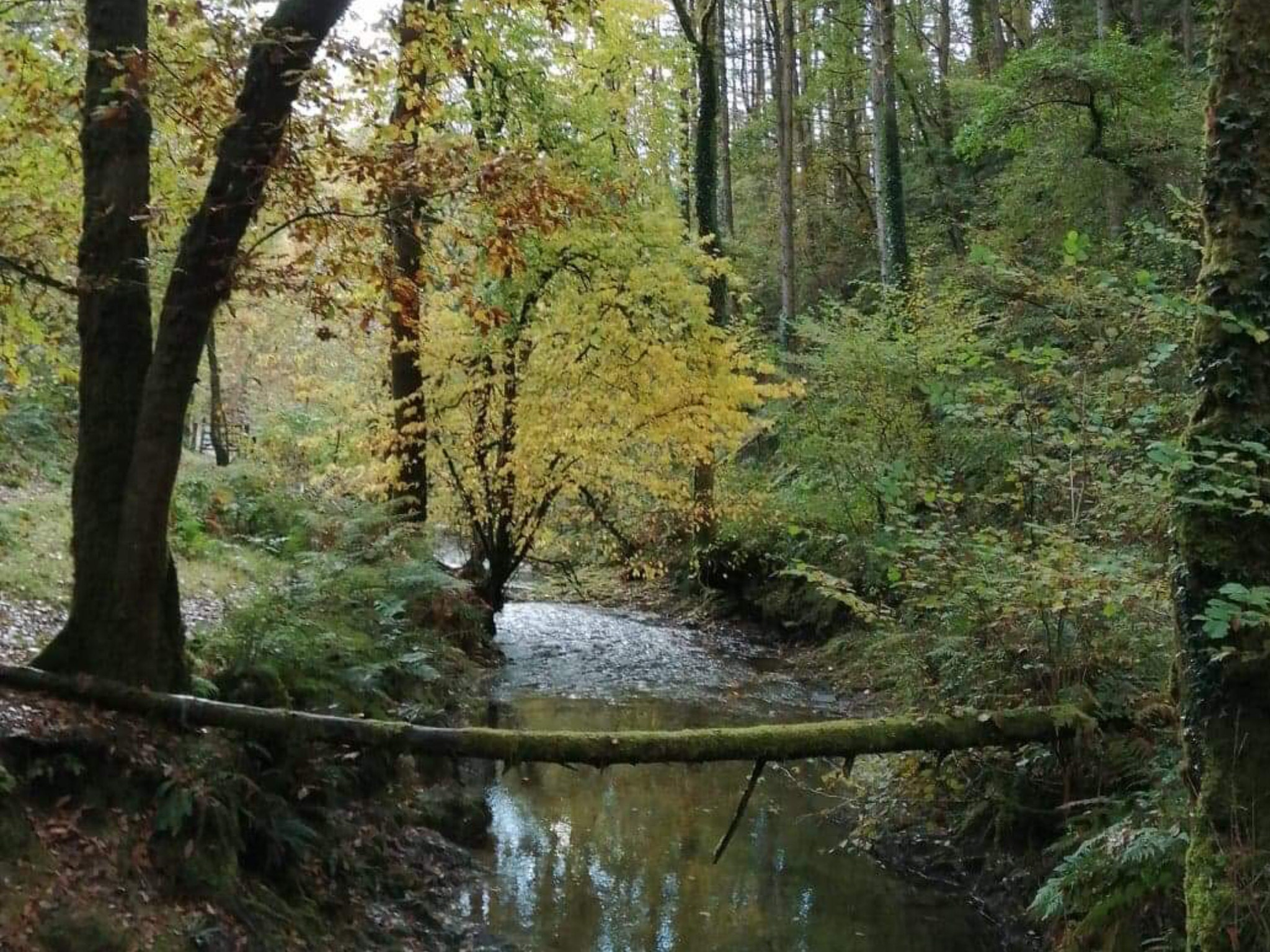 Elm in Autumn - Brechfa Forest Abergorlech