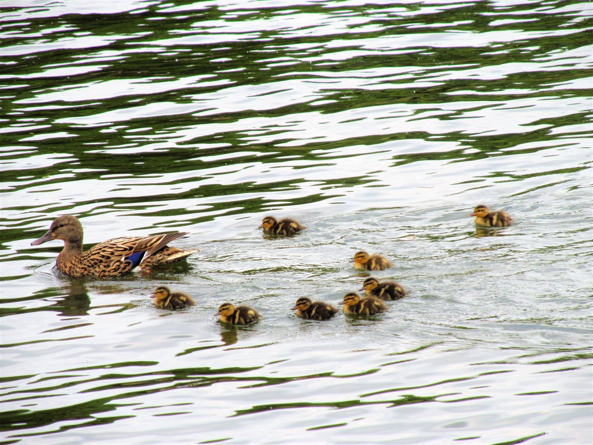 Mildred and her ducklings
