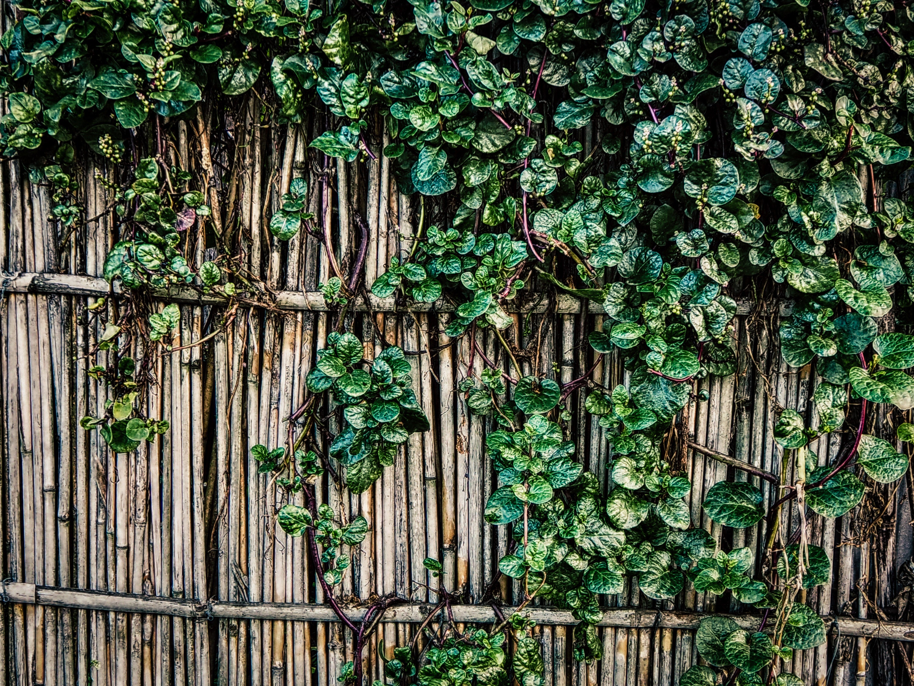 A vine covered bamboo fence