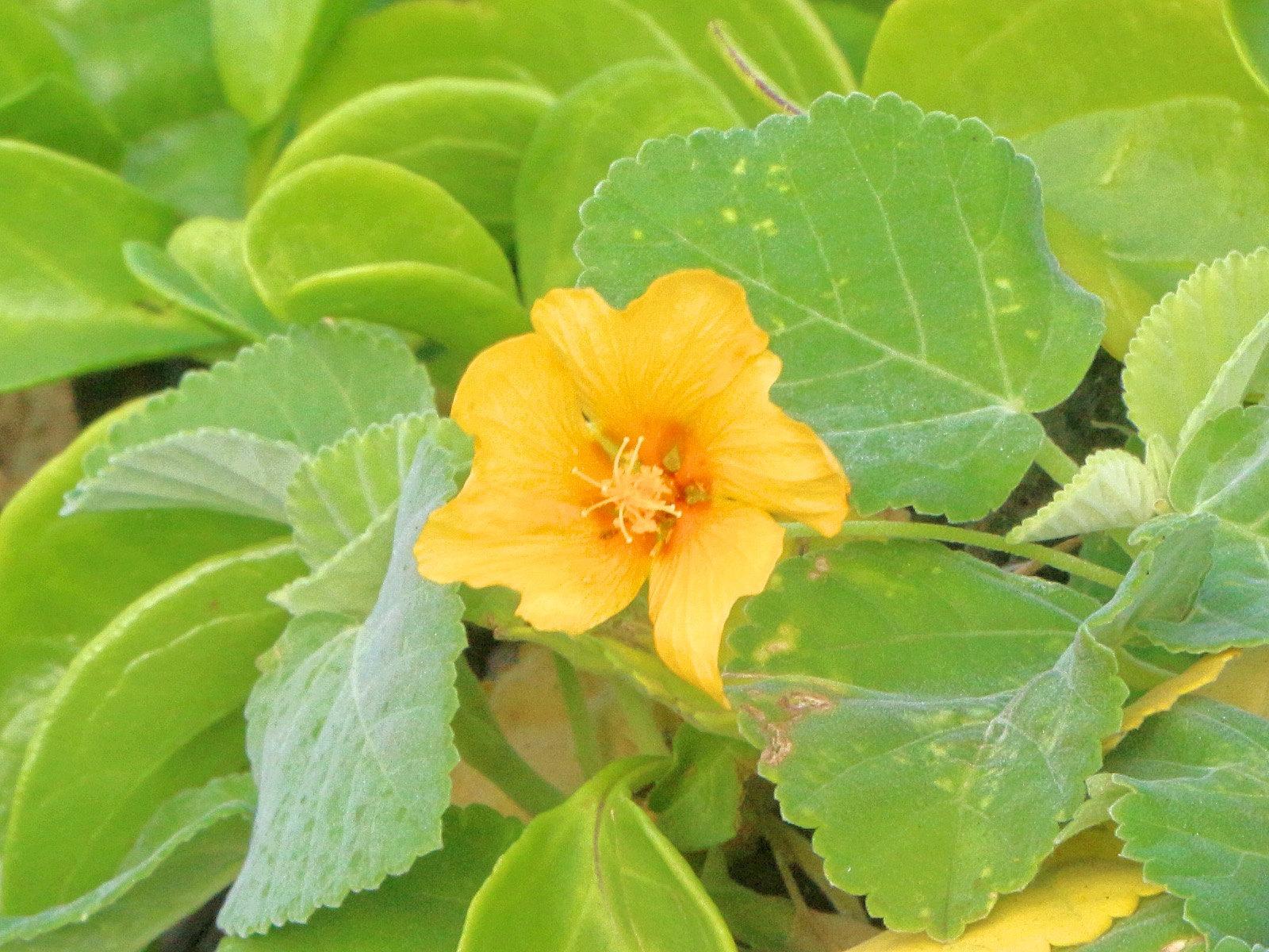 ilima hawaiian flower oahu Hawaii