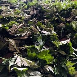 Fresh mugwort leaves