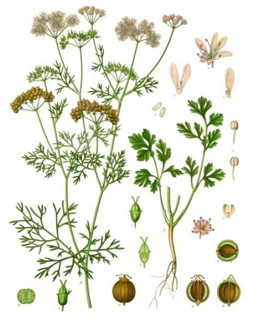 botanical illustration of coriander