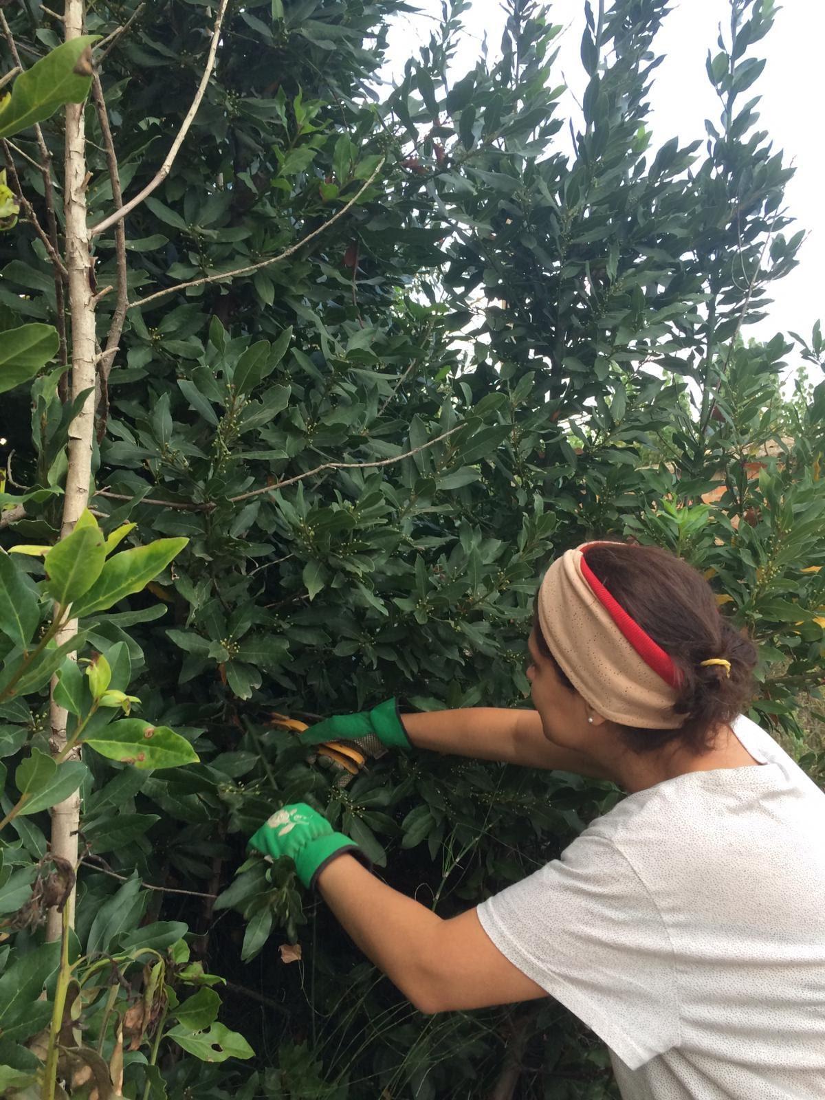 Recolectando hojas de Laurel.