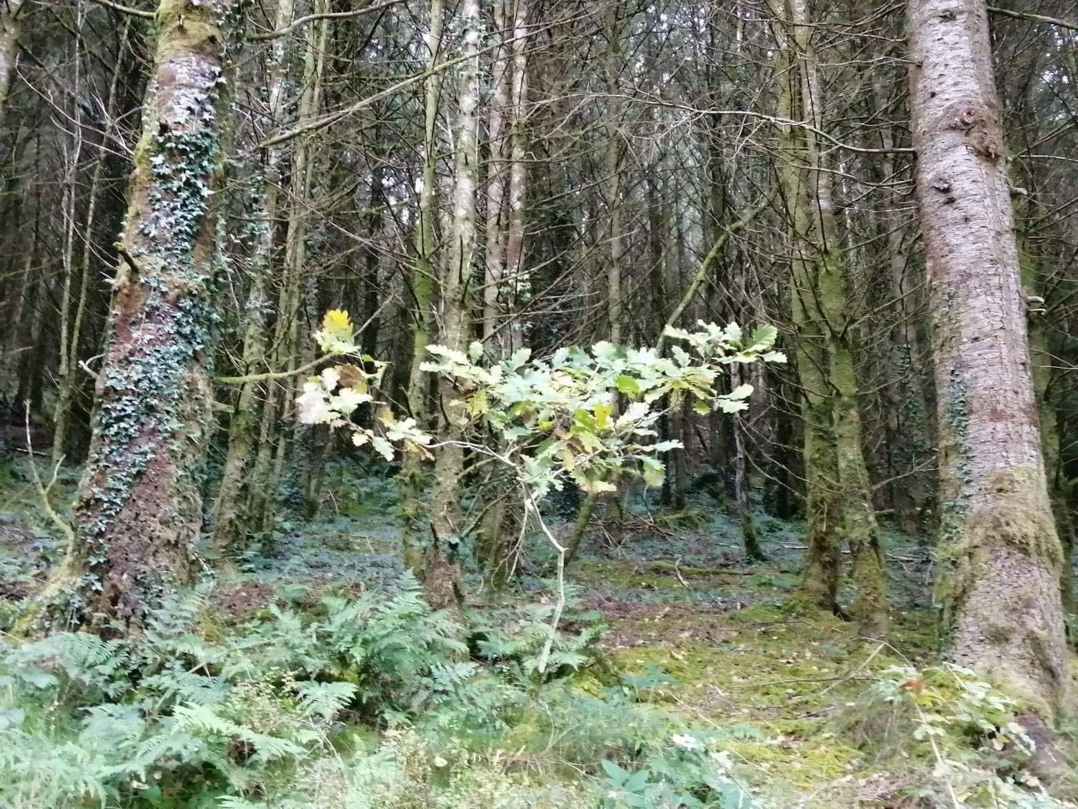 Young Oak, Abergorlech, Brechfa Forest, Wales