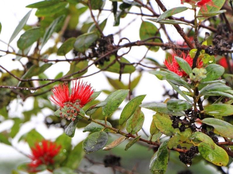 ohia lehua flower in big island Hawaii