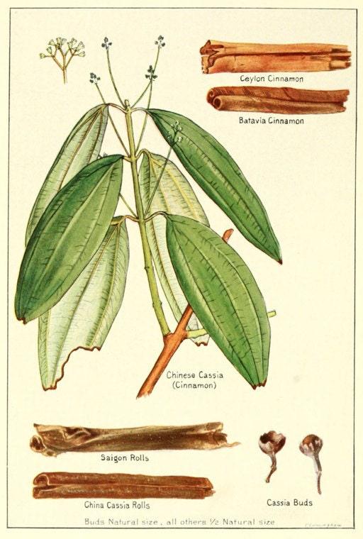 botanical illustration of cinnamon