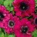 100 graines grandiflora Azaelaflora GODETIA Rembrandt