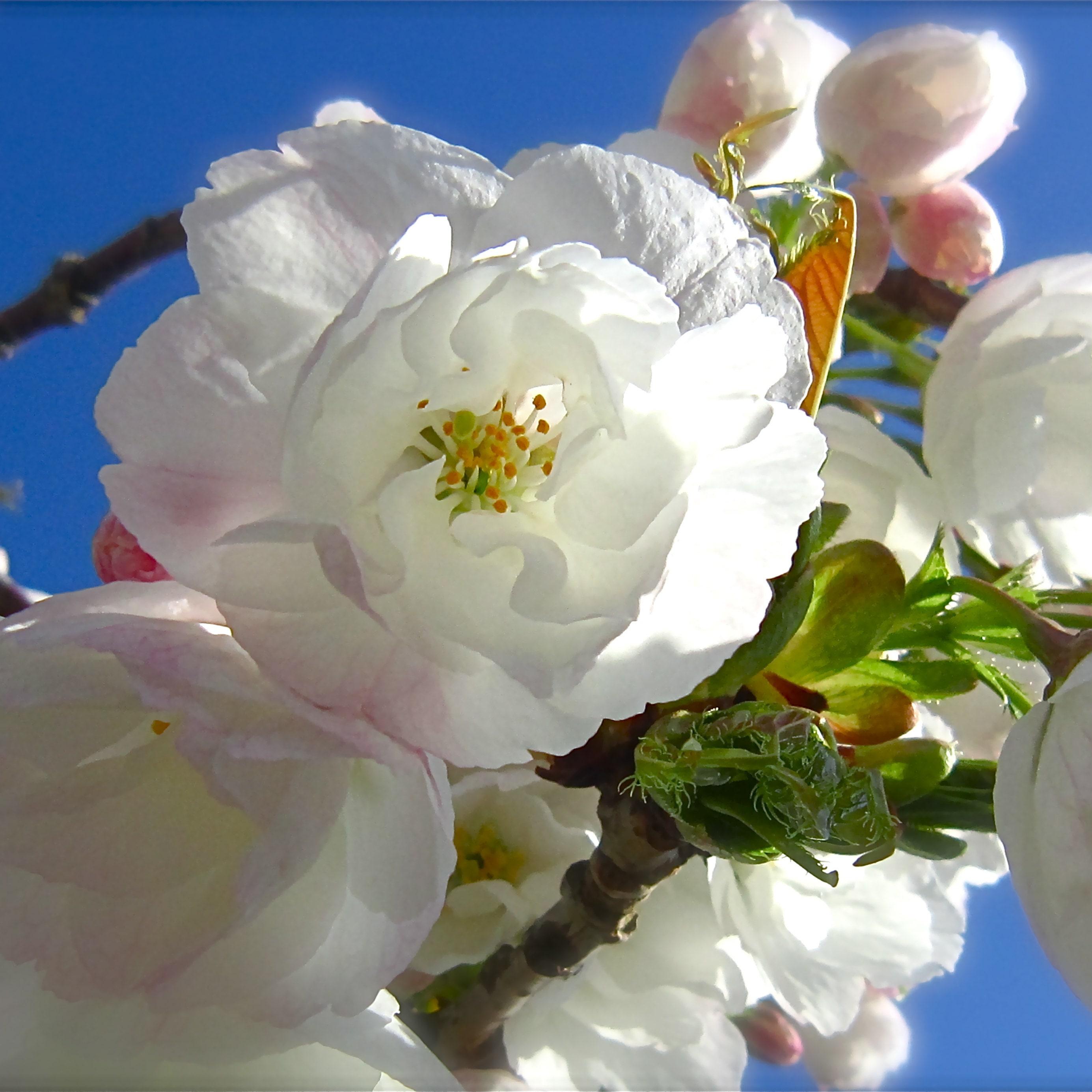 Flower Photography Botanical White Mum Blue Lavender Lilac Etsy