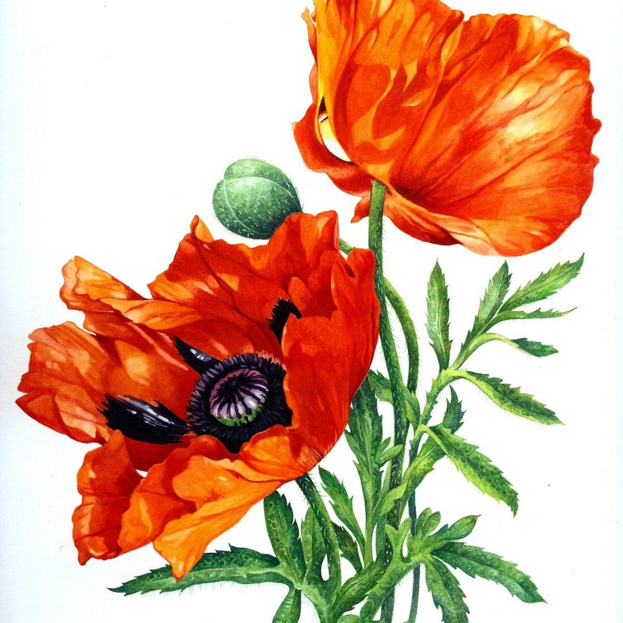 Цветы маки картинки нарисованные, поздравления