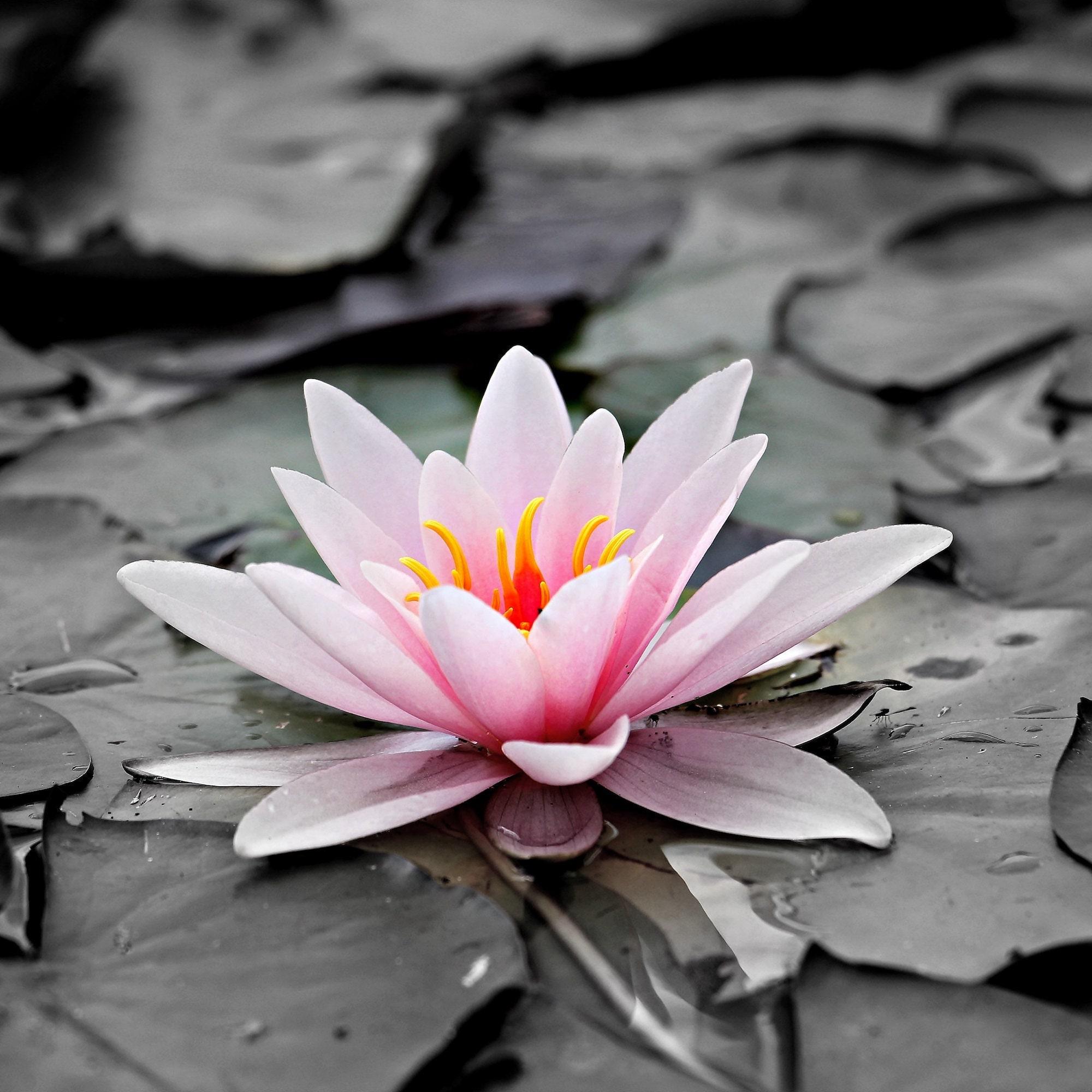 Blue lotus absolute nymphaea caerulea etsy aromaticremedies izmirmasajfo