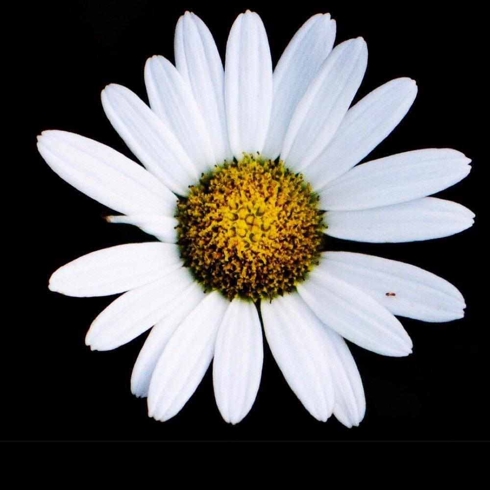 White Mum Flower Art Macro Photography Etsy