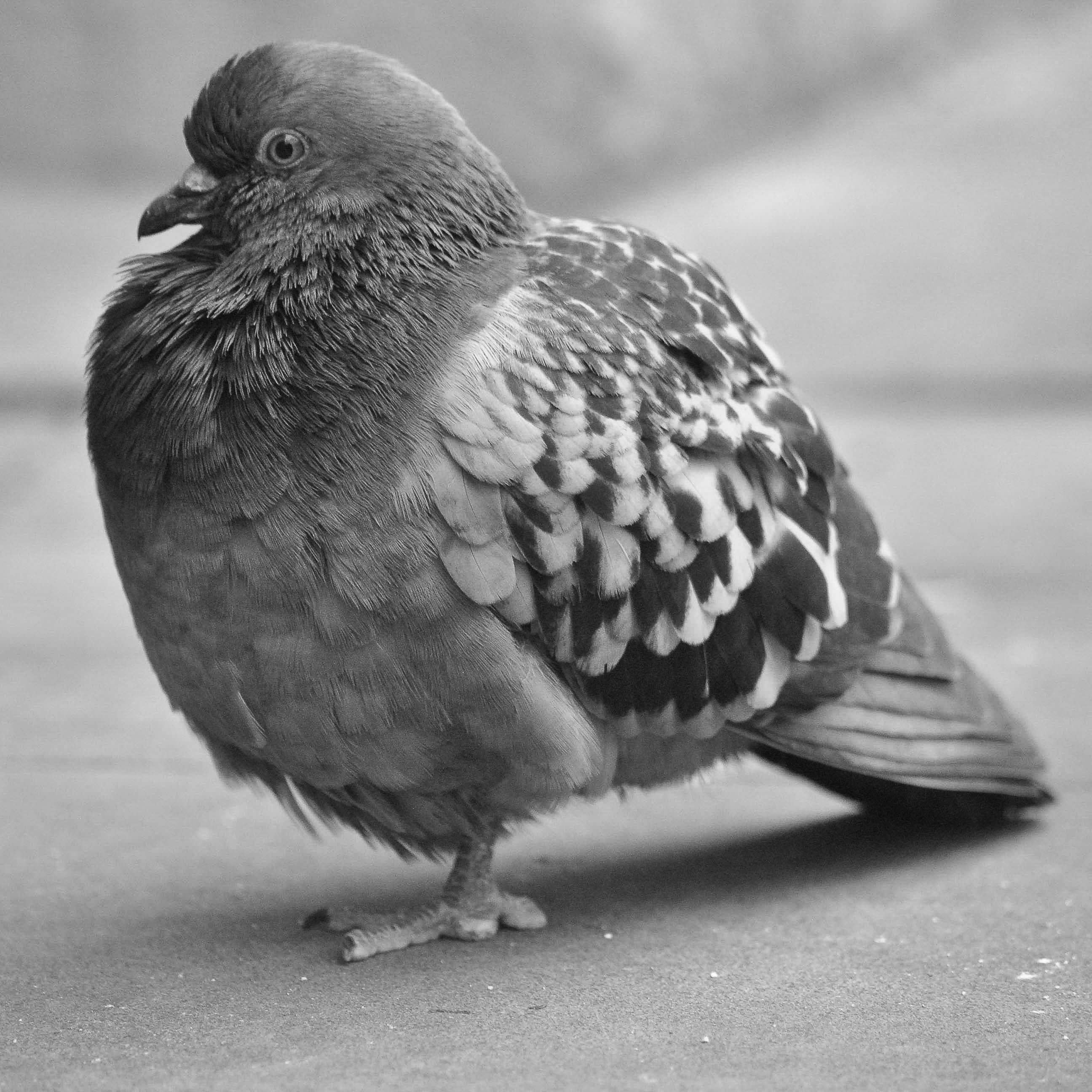 Pigeon Greetings Card Pigeon Photo Image Card Photo Etsy