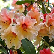 RhododendronsDirect