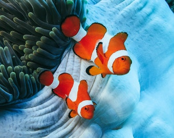 Clown Fish Art